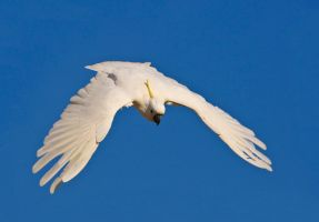 Sulphur Crested Cockatoo 223 by chezem