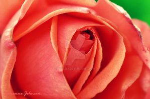 Rose by Monze1