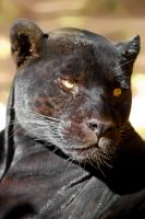 20071114-0094 Black Panther by Yellowstoned