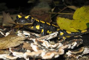 Salamandra salamandra by MainTower
