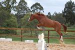 ASH jumping 90cm no tack by Chunga-Stock