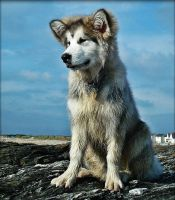 Young Malamute by Estruda