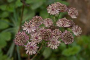 Astrantia by steppelandstock