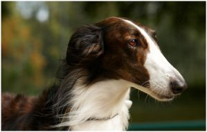 Borzoi - name unknown by thetebe