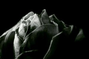 Rose by AndySimmons
