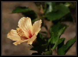 Golden Hibiscus.. by Firey-Sunset