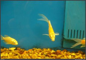 Fish Stock 0031 by phantompanther-stock