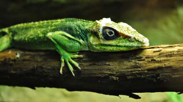 Knight Anole by SarahVlad