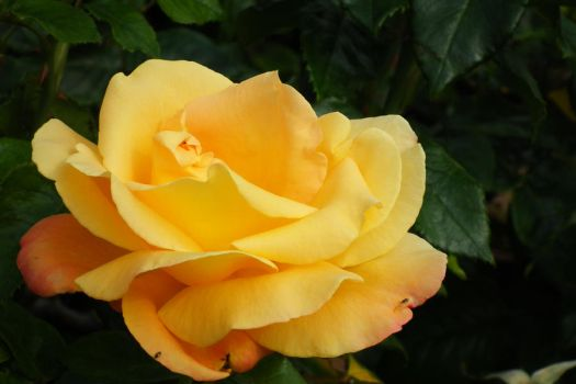 just a rose by TachMandam