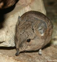Short-eared Elephant Shrew by Parides