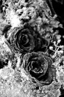 Frozen Roses by duvessa2