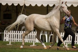 STOCK - TotR Arabians 2013-56 by fillyrox