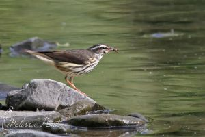 Waterthrush by mydigitalmind