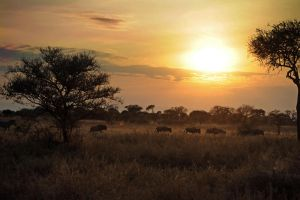 Wildebeests by xxJY