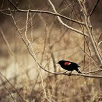 Red-wing by jenniferstuber