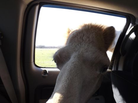 Camel in my dad's truck by Wolf-Hybrid-Lover836
