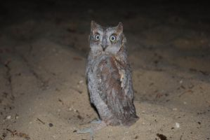 dwergooruil Otus scops by ReneHaan