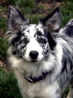 Border Collie 27 by Museik