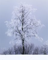 frosted beech by mescamesh