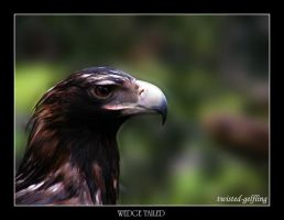 Wedge Tailed Eagle by twisted-gelfling