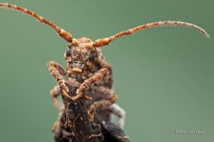 Posing Long Horn Beetle by melvynyeo