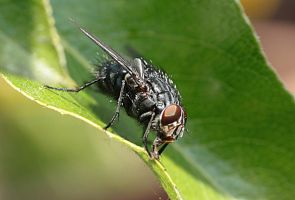 ugly housefly by marob0501