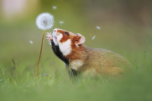 Hamster and Blowball by JulianRad