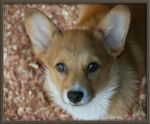 Last Little Corgi Pup by Deidreofthesorrows