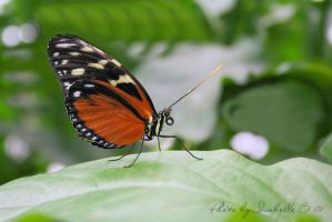 Heliconius hecale by BEllebasi