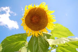 Large Sunflower by jrbamberg