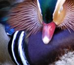 Mandarin Duck by OpticalIlluzens