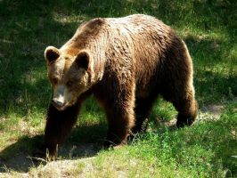 Bear on the Walk by Valvador