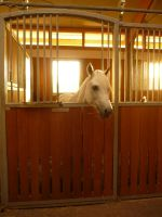 Animals - The White Horse by Stock-gallery