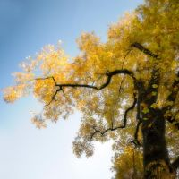 Yellow Poplar Tree by houselightgallery