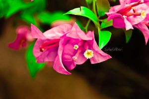 PINK FLOWER by Saher4ever