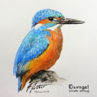 Eisvogel by Attila-G