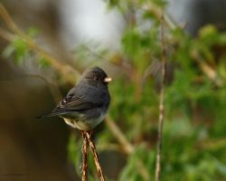 First Junco of 2011 by natureguy