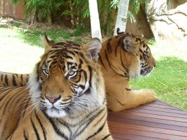 Bengal Tigers by myexratedromance