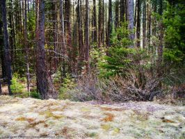 Glacier Park Forest by rocamiadesign