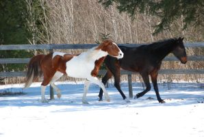 Pinto And Standardbred 3 by ErikaChristine