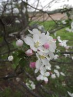 Pink and White Blossoms by Gothgirl145