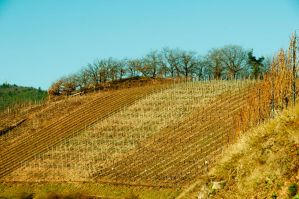 wineyard and wine by Louisolah