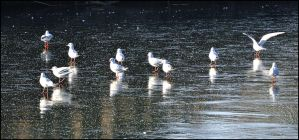 Birds on Ice by FrankAndCarySTOCK
