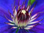 passion flower macro by DjMistic