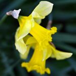 Narcissus by Ballisticvole