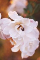 .flower and the bee by Lunar-Ray