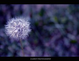 Dandelion by ClairutPhotography