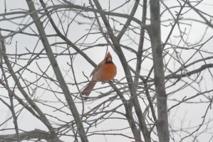 Cardinal Casing the Branches 3 by Miss-Tbones
