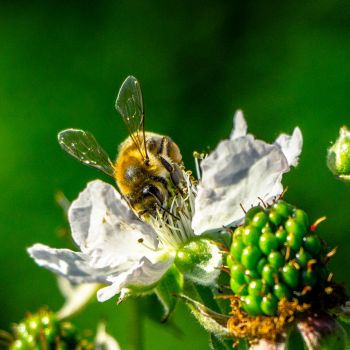 Bee at work by berlinhelmut