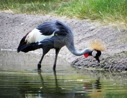 Crowned Crane by Passion-For-Pictures